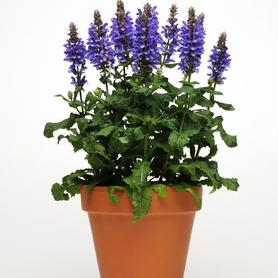 Salvia nemorosa Blue Marvel
