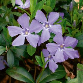 Vinca minor Bowles Variety