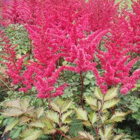 Astilbe chinensis 'Mighty™ Red Quin'
