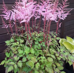 Astilbe chinensis 'Delft Lace'