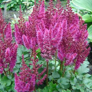 Astilbe chinensis 'Purple Rain'
