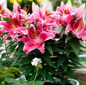 Lilium - Oriental Pot Lily Looks™ 'After Eight'