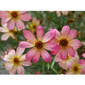 Coreopsis 'Permathread™ Shades of Rose'