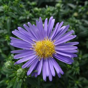 Aster dumosus 'Wood's Light Blue'