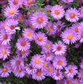 Aster dumosus 'Wood's Purple'