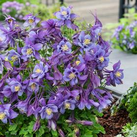 Aquilegia F1 'Earlybird™ Purple Blue'