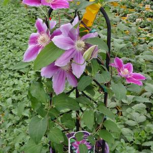 Clematis 'Dr. Rupple'
