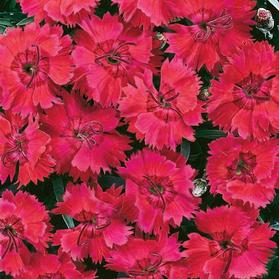 Dianthus 'Star Single™ Fire Star Improved'