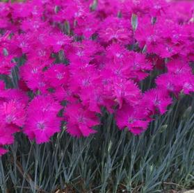Dianthus 'Star Single™ Neon Star Improved'