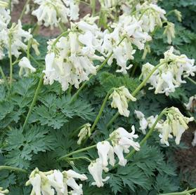 Dicentra x 'Ivory Hearts'