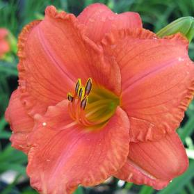 Hemerocallis 'South Seas'