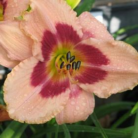 Hemerocallis 'Wineberry Candy'