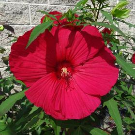 Hibiscus 'Fleming™ Fireball'