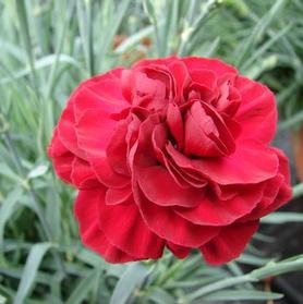 Dianthus 'Scent First™ Passion'