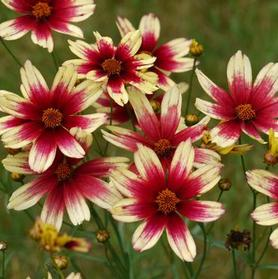 Coreopsis 'Satin and Lace™ Red Chiffon'