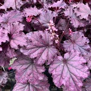 Heuchera 'Forever® Purple'