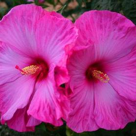 Hibiscus 'Fleming™ Little Prince'