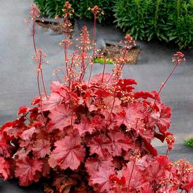 Heuchera 'Northern Exposure™ Red'