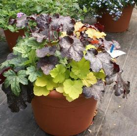 Heuchera 'Combo Tray for Mixed Containers'