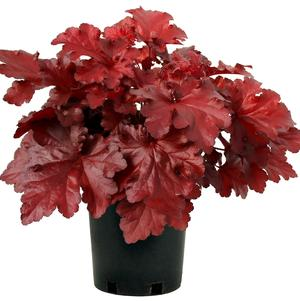Heuchera 'Forever® Red'