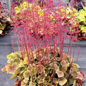 Heuchera 'Northern Exposure™ Sienna'