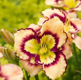 Hemerocallis 'Spacecoast Sea Shells'