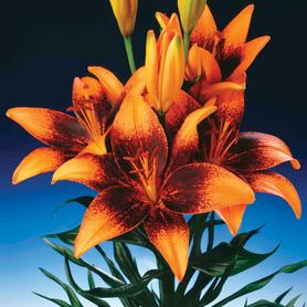 Lilium - Asiatic Lily Tango Orange Art