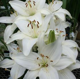 Lilium - Asiatic Pot Lily New Wave