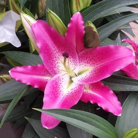 Lilium - Oriental Pot Lily Entertainer