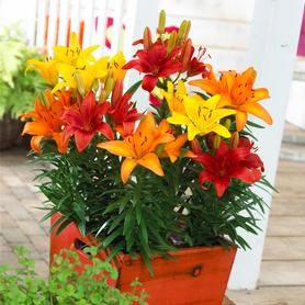 Lilium - Lily Looks Harvest Patio Combo