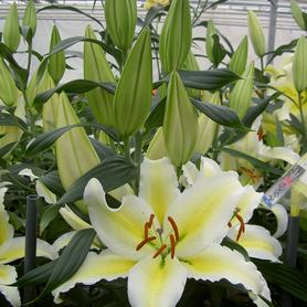 Lilium - Oriental Lily Chill Out