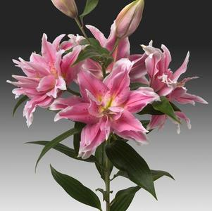 Lilium - Oriental Lily Double Flowering Rose Lily™ Anika