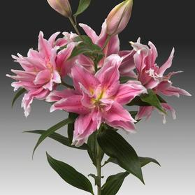 Oriental Lily Rose Lily Anika