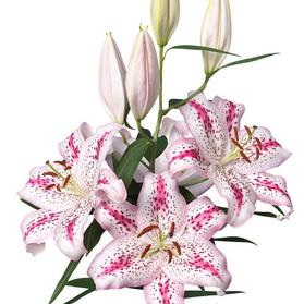 Lilium - Oriental Lily 'Solution'