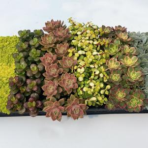 Succulent 'Premium Collection D'